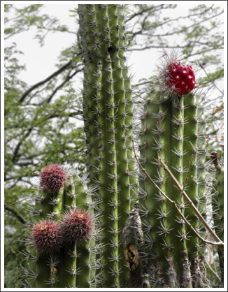 A tall, fierce cactus in bloom