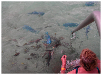 Large blue parrot fish and some smaller finned friends will come to a dock looking for food