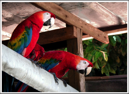 Scarlet macaws also live on the island