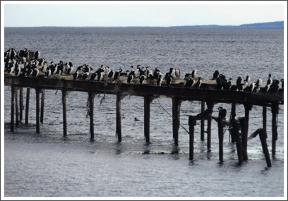 PUNTA ARENAS–a flock of sea birds uses an old pier as a rest area