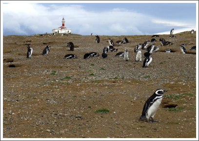 PUNTA ARENAS–the colony of Magellanic penguins numbers some 150,000 cute birds