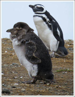 PUNTA ARENAS–this baby penguin looks very scruffy as it loses its baby fuzz and grows adult feathers