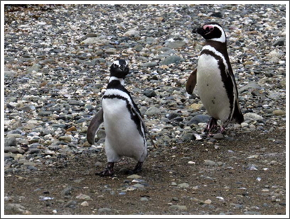 PUNTA ARENAS–penguins love to play 'follow-the-leader' as they head to the sea