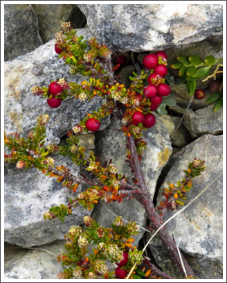 FALKLANDS–there is a bit of color provided by hardy, low-growing shrubs