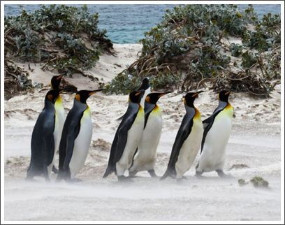 FALKLANDS–see the wind-blown sand blasting by the birds