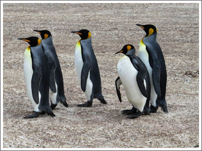 FALKLANDS–like all penguins, these are such fun to watch as they waddle around the sand