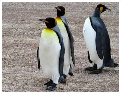 FALKLANDS–magnificent creatures that nest on the bare ground