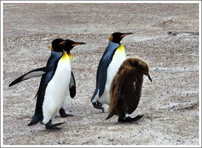 FALKLANDS–the brown chick is ready to start losing its fuzz