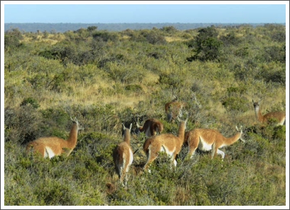 VALDES PENINSULA–wild guanacos sprint around knowing they're safe from predators