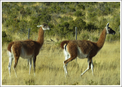 VALDES PENINSULA–the guanaco, like the llama and alpaca, are in the camel family and native to S. America