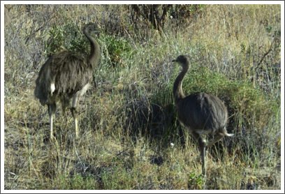 VALDES PENINSULA– rheas, large flightless birds like the ostrich, also make their home on the peninsula