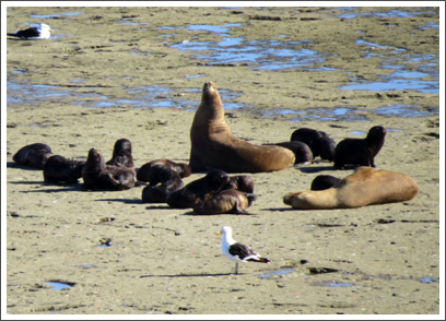 VALDES PENINSULA–the pups are dark grey and tend to congregate together when their mothers are at sea