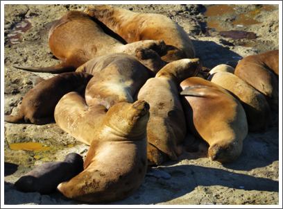 VALDES PENINSULA–these females are just resting in the warm sunshine