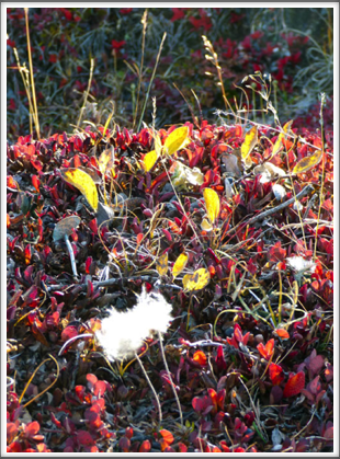 IQALUIT—small example of colorful Arctic plants