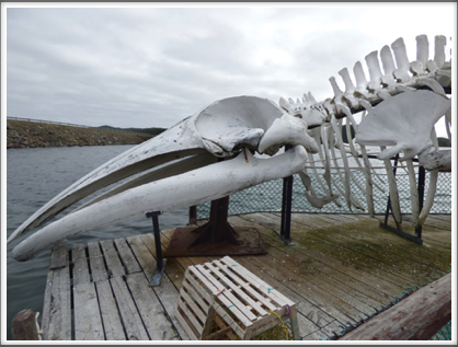 TWILLINGATE—the skeletal head and chest of a whale was available for inspection
